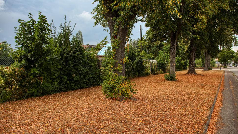 Die Linden auf der Illenauer Allee verlieren bereits massiv ihre Blätter.