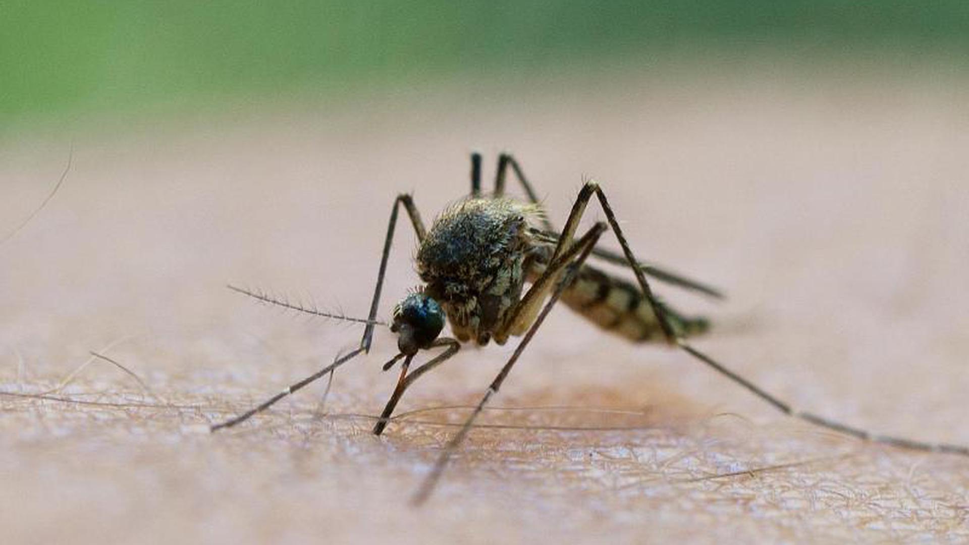 Eine Mücke saugt Blut aus einem Arm