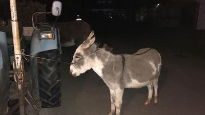 Esel, an einem Traktor angebunden, in Appenweier-Nesselried