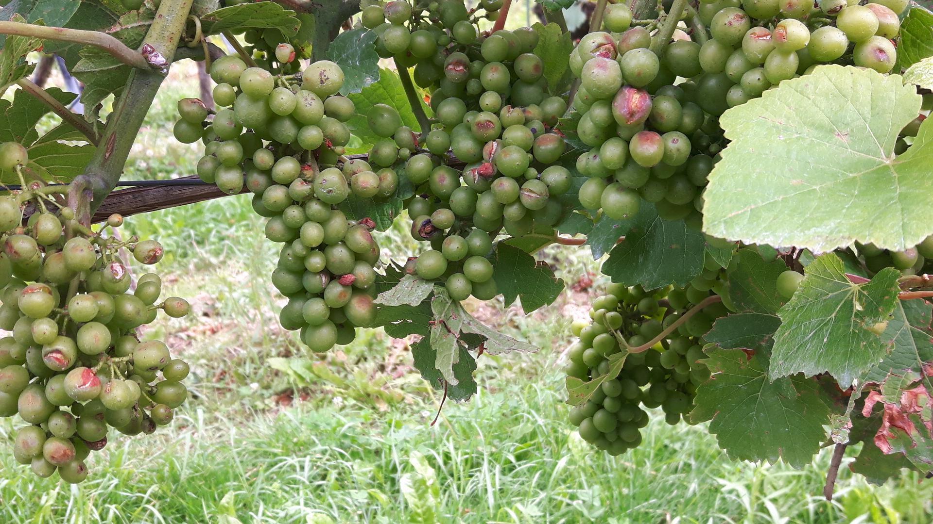 Gerade bei Diersburg und Oberschopfheim hat ein Hagelschauer Ende Juli zahlreiche Beeren beschädigt, zu sehen an den Einkerbungen.