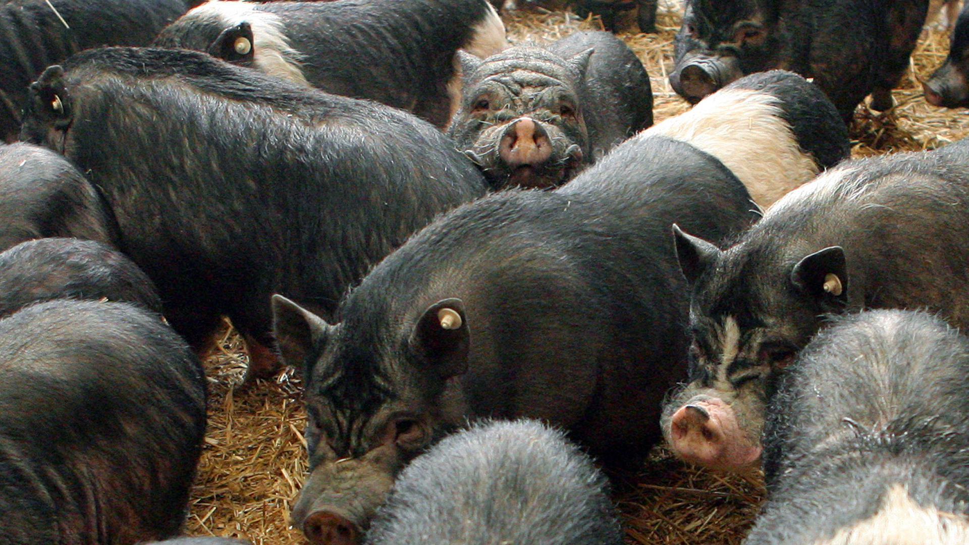 """Insgesamt mehr als 170 Hängebauchschweine warten am Freitag (28.04.2006) in einem Stall bei Darmstadt auf ihren Abtransport. Tierschützer hatten in Zusammenarbeit mit Veterinären hunderte der Tiere bei einem Privatbesitzer beschlagnahmt. Jetzt werden die """"Mini-Schweine"""" an neue Besitzer in ganz Deutschland vermittelt. Foto: Salome Kegler dpa/lhe +++ dpa-Bildfunk +++"""