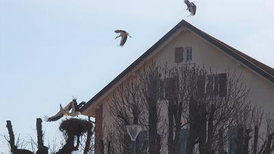 Störche kämpfen um ein Nest.