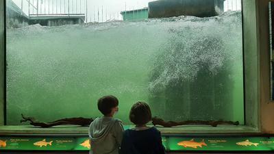 Zwei Kinder blicken durch die Glasscheibe der Fischtreppe an der Rheinstaustufe zwischen Gambsheim und Rheinau. Sie halten Ausschau nach Fischen.