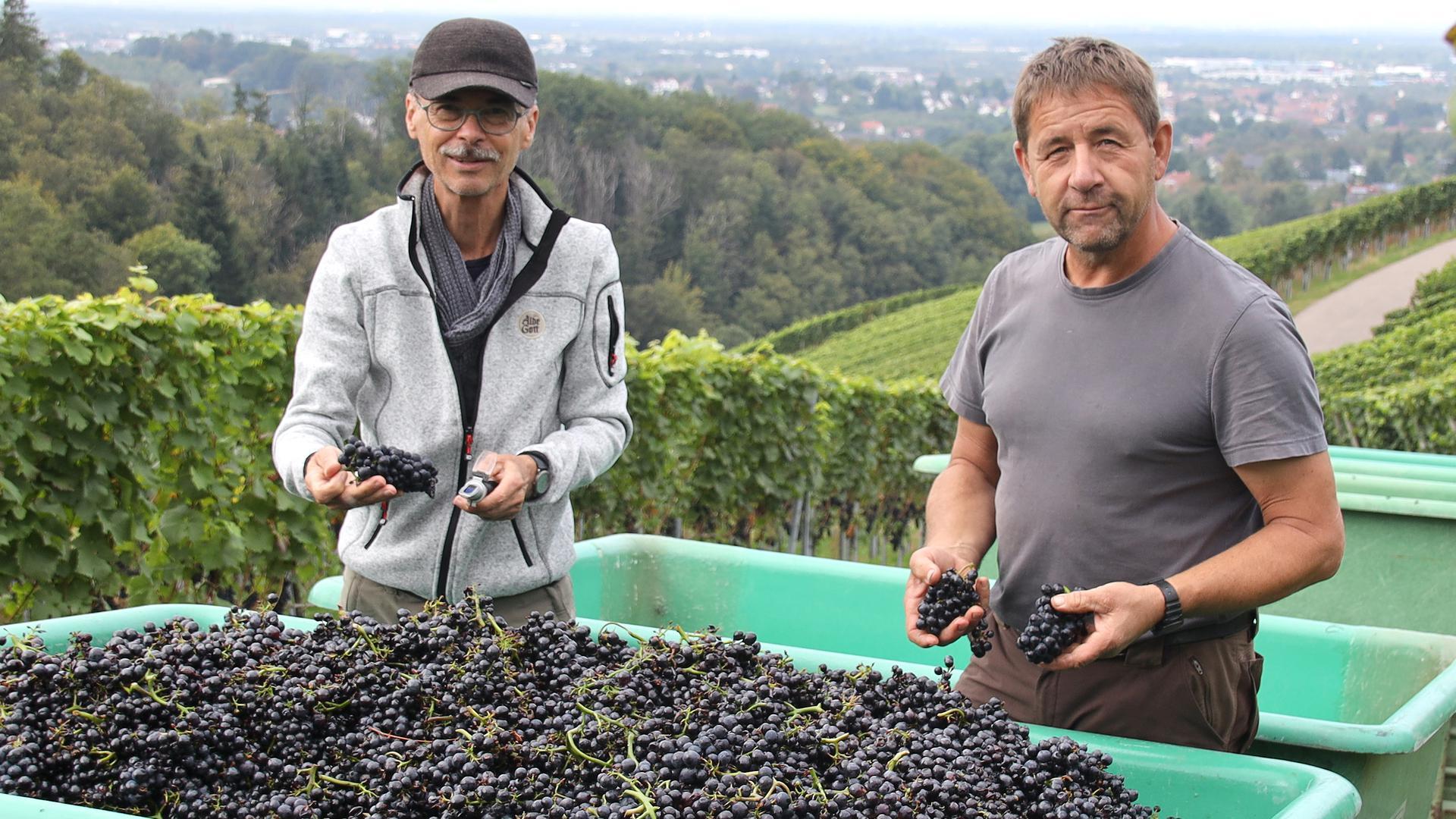 Beginn der Weinlese in Sasbachwalden, Kappelrodeck, Waldulm