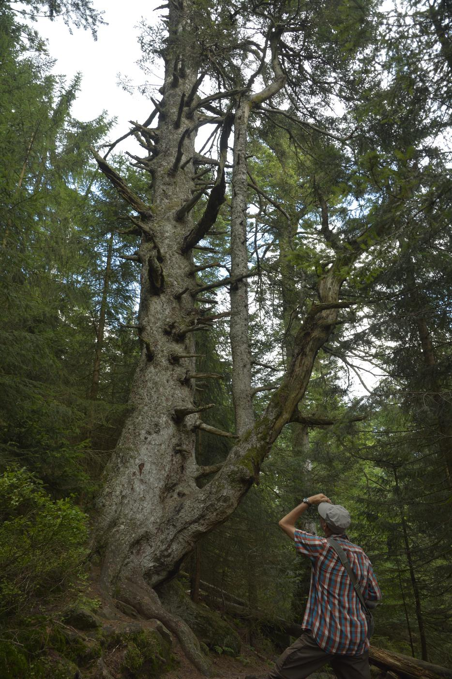 Rund 200 Jahre alt: die Weißtanne im Bannwald.