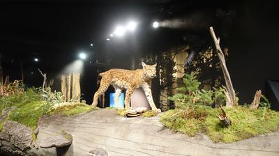 Luchs in der Dauerausstellung des Nationalparkzentrums am Ruhestein