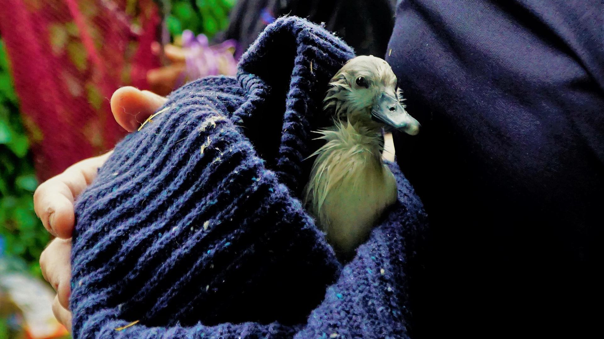 Eins der Küken in Rastatt muss Pierre Fingermann nun zuhause aufpäppeln. Das Nest der Schwäne wurde überflutet.