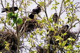 Saatkrähennester in einem Baum in  der Oberwaldstraße