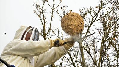 Bernhard Unser sägt in luftiger Höhe den Ast mit dem Hornissen-Nest ab.