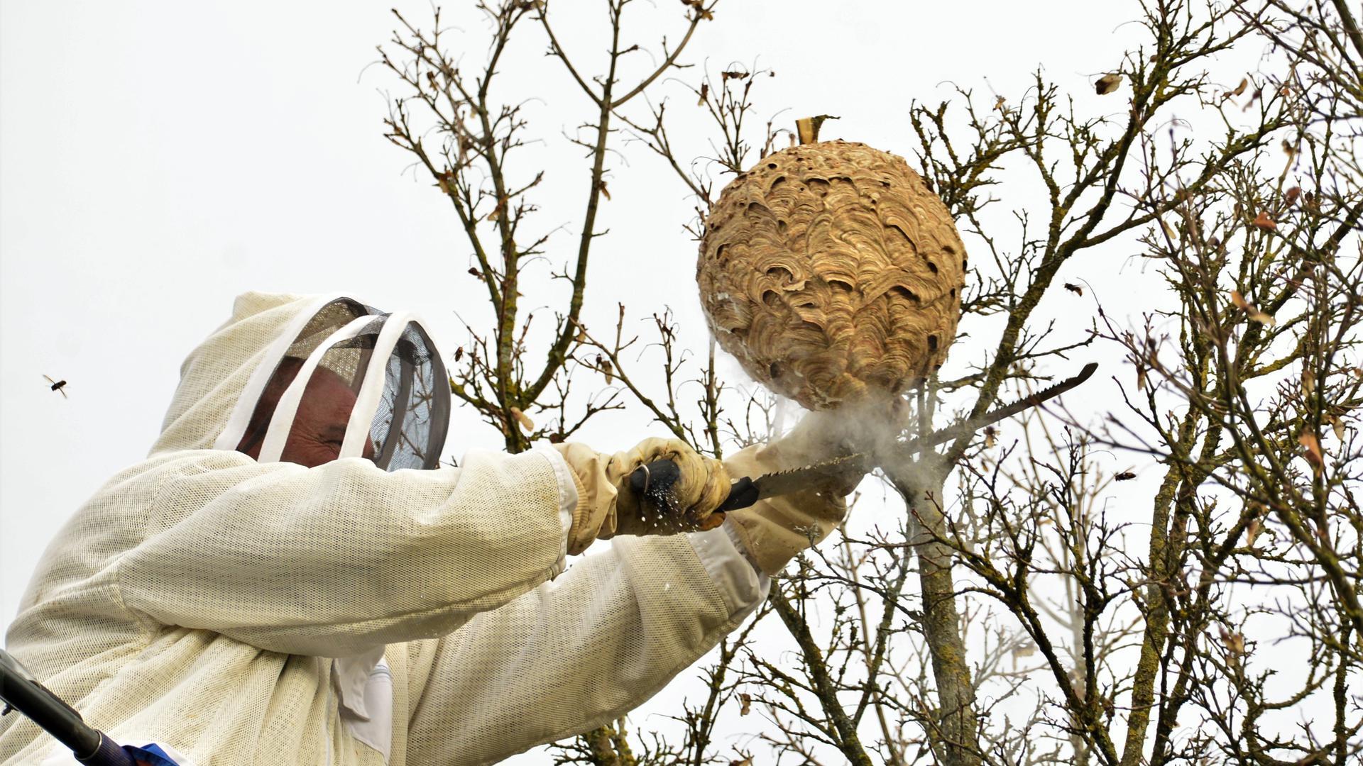 Bernhard Unser sägt in luftiger Höhe den Ast mit dem Hornissen-Nest ab. Die Tiere wurden zuvor mit Kohlendioxid betäubt.