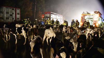 Feuerwehrmänner stehen im Fluchtlicht vor vielen Kälbern.