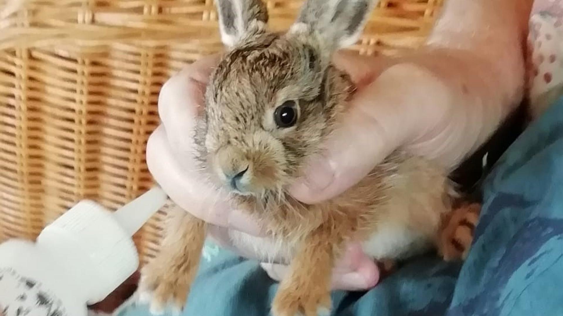 Ein kleines Feldhasenbaby wird in einer Hand gehalten.