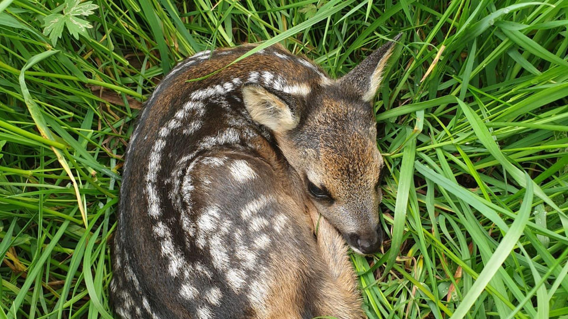 Rehkitze werden zwischen Anfang Mai und Ende Juni geboren. Als Liegeplatz für sie bevorzugen die Mütter Wiesen mit hohem Gras, um die Kitze vor Räubern zu schützen.