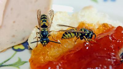 Zwei Wespen naschen in Rastatt an einem Marmeladenbrot.