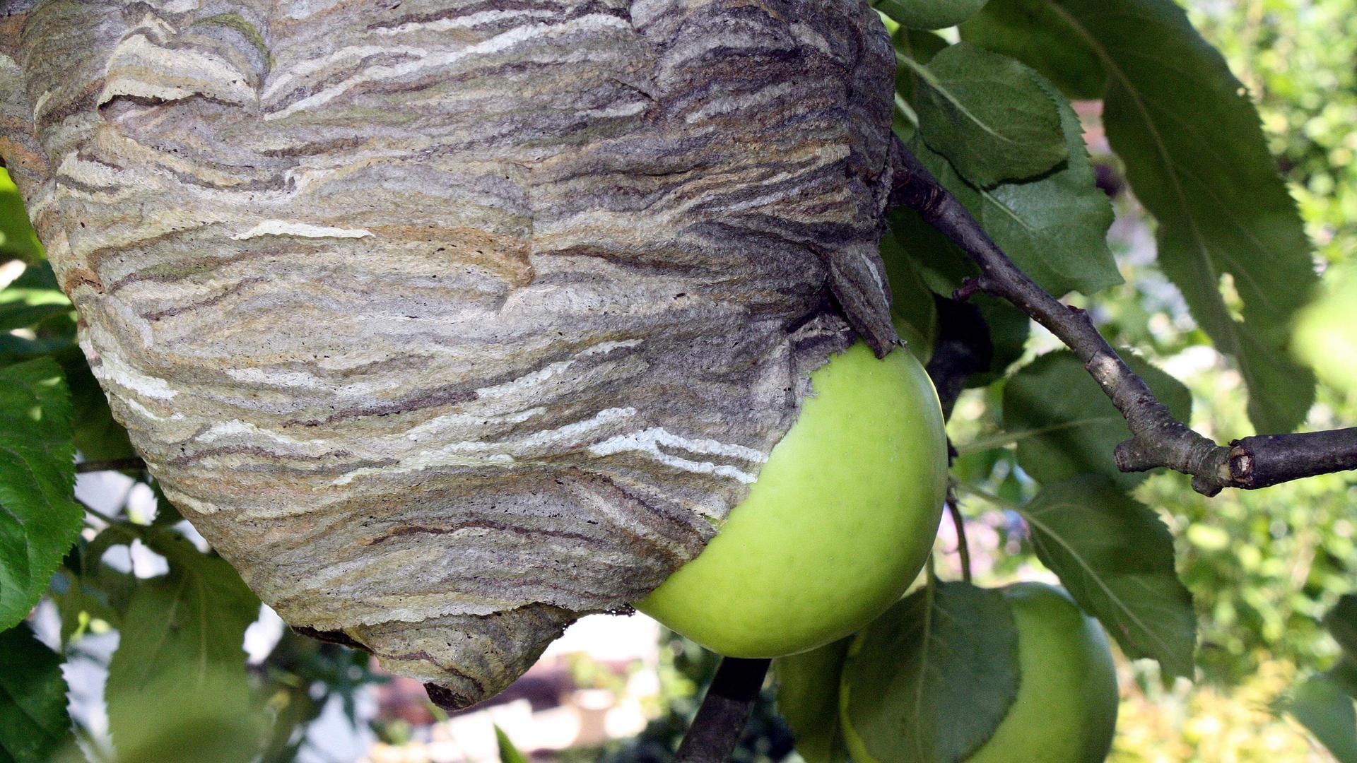 Wespennest im Apfelbaum