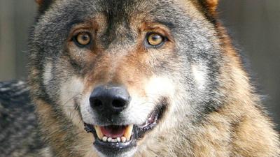Ausdauernder Jäger: Ein ausgewachsener Wolf kann in einer Nacht problemlos Entfernungen von rund 50 Kilometern zurücklegen.