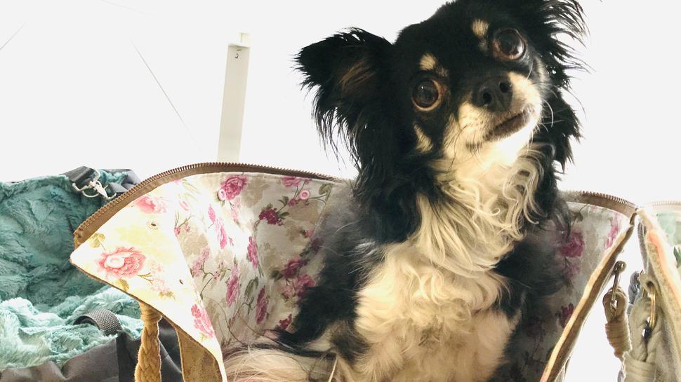 Hund im Korb: die zierliche Chihuahua-Hündin Lili.