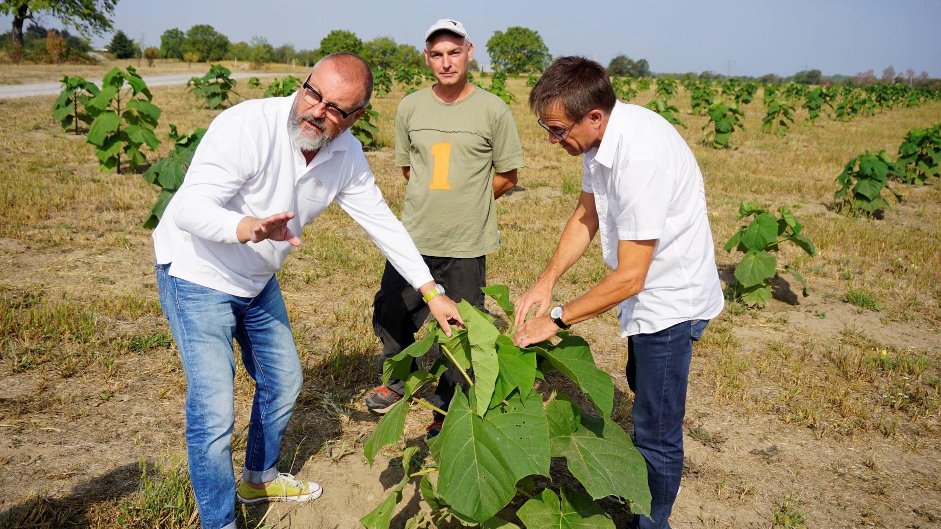 Der Start der Pflanzaktion von Paulownia-Bäumen erfolgte im vergangenen Jahr. Zwischenzeitlich wurden die Pflanzen deutlich zurückgeschnitten.