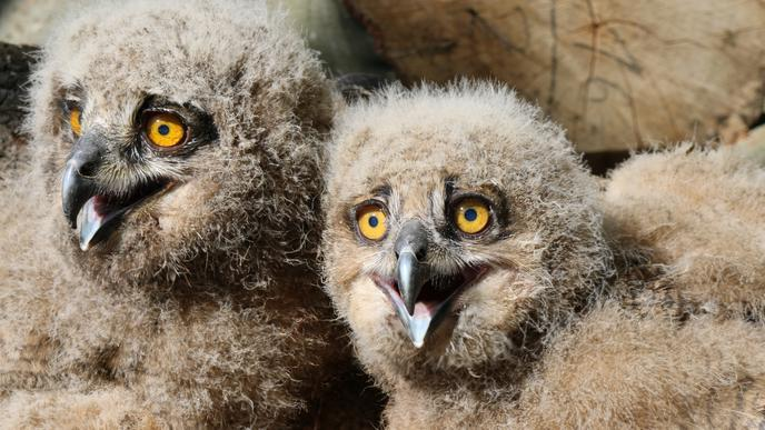 Uhuküken sitzen in einem Steinbruch im Landkreis Karlsruhe. Vogelschützer beringen sie dort, bevor die jungen Eulen flügge werden.