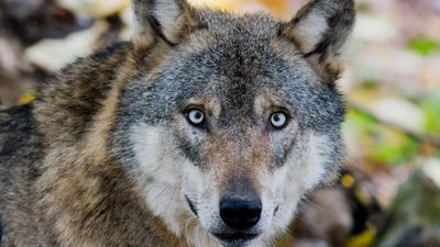 """ARCHIV - 29.10.2015, Niedersachsen, Springe: Ein Wolf steht im Wisentgehege. (zu dpa """"Zahl der nachgewiesenen Wolfsrisse kaum gestiegen"""" vom 15.08.2018) Foto: Julian Stratenschulte/dpa +++ dpa-Bildfunk +++"""