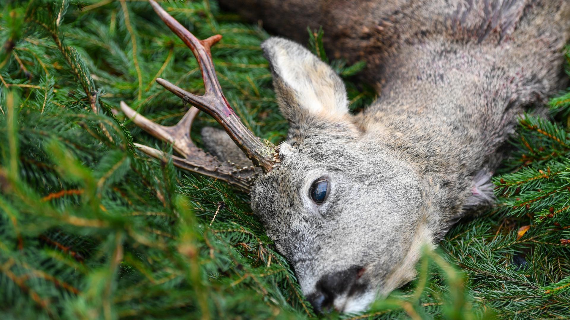 Tierschutz und Waldschutz gehen nicht immer unter einen Hut: Weil Rehe gerne junge Bäumchen fressen, will die Bundesregierung mit einem neuen Gesetz ihren Bestand wirksamer regeln, damit sich Deutschlands stark geschädigte Wälder erholen können.