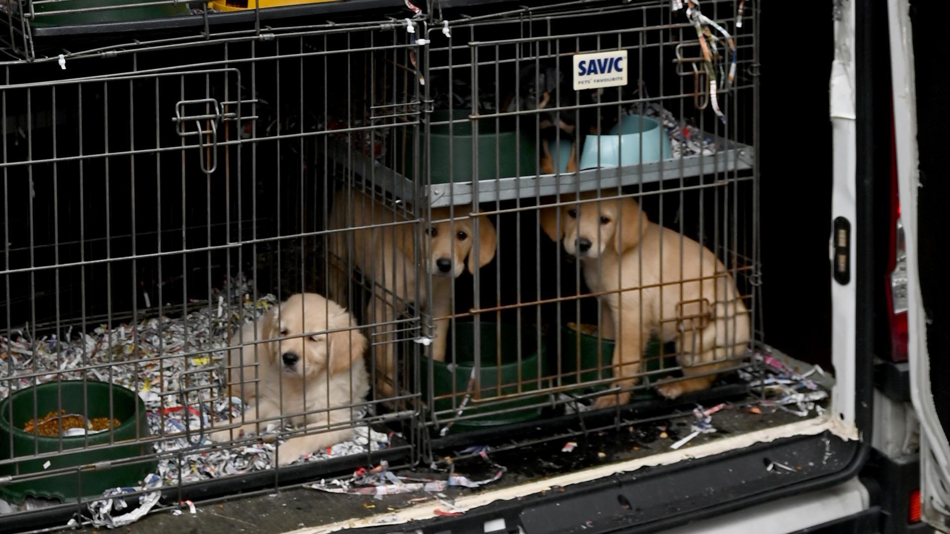 Mehrere Hundwelpen in Käfigen in einem Transporter