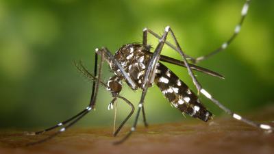 Eine Asiatische Tigermücke.