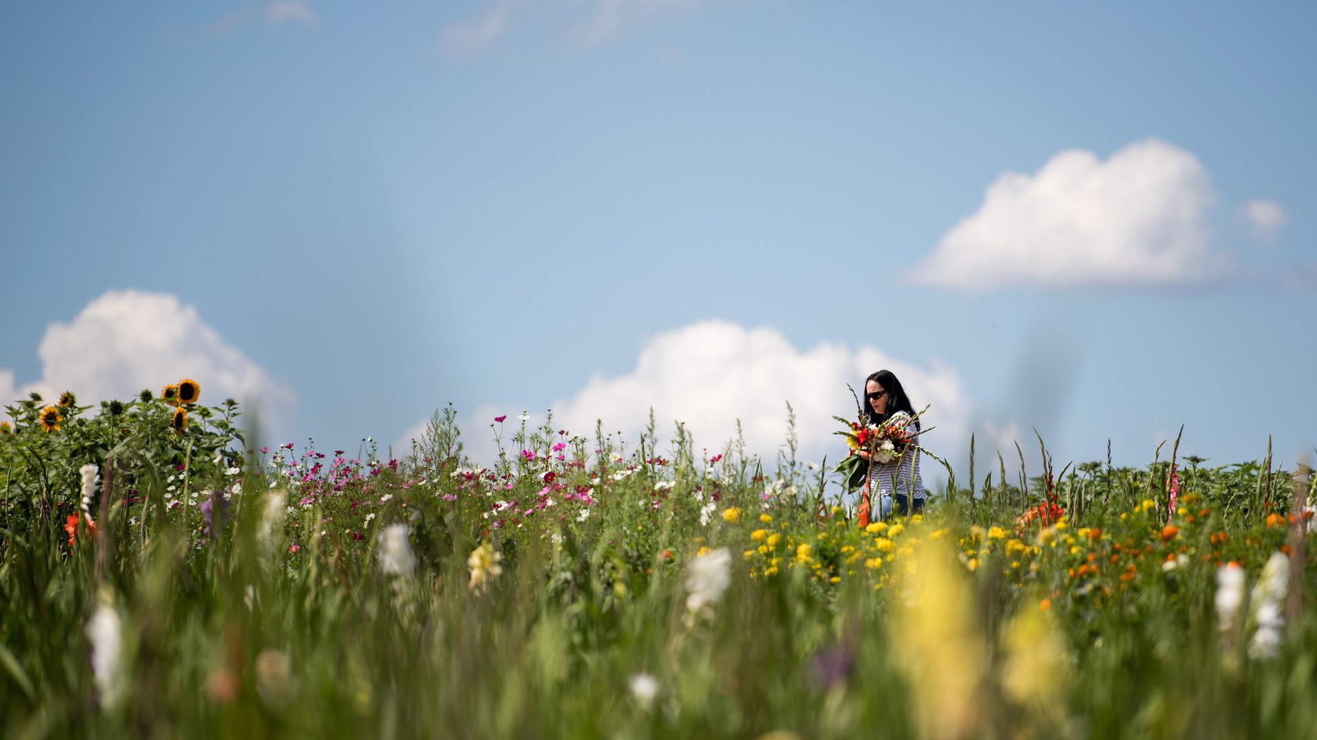 Eine Frau geht am 06.08.2017 bei Maulbronn (Baden-Württemberg) über ein Feld mit Blumen zum selber pflücken im Arm. Foto: Sebastian Gollnow/dpa +++(c) dpa - Bildfunk+++
