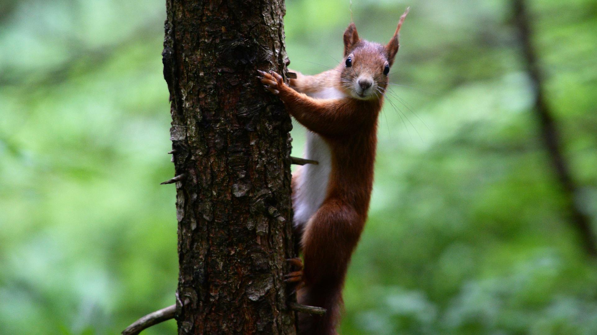 Êin Einhörnchen hält sich am 19.06.2015 bei Hinterzarten (Baden-Württemberg) an einem Baum fest.