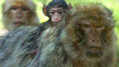"""Ein Berberaffen-Baby klammert sich im elsässischen Sélestat am Rücken seiner Mutter fest (Foto vom 06.07.2004). Im Elsass ist buchstäblich der Affe los. Unweit der Hochkönigsburg bei Sélestat tummeln sich rund 280 Berberaffen am Fuß der Vogesen. Ohne Gitter oder Käfige haben sie dort ähnliche Bedingungen wie ihre Artgenossen im marokkanischen Atlasgebirge. Gut 300 000 Besucher, davon über ein Drittel aus Deutschland, kommen alljährlich auf den """"Montagne des Singes"""", den Affenberg. Foto: Rolf Haid dpa/lsw (zu dpa-Korr: """"Affen an der Hochkönigsburg locken Touristen und Wissenschaftler an"""" vom 16.07.2004)"""