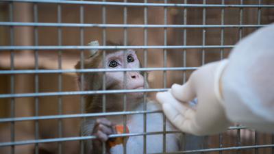 Ein Rhesus-Affe mit einem Implantat wird am 10.03.2016 in der Tierhaltung im Max-Planck-Institut für biologische Kybernetik in Tübingen (Baden-Württemberg) von einem Tierpfleger gefüttert. Foto: Marijan Murat/dpa (zu dpa: «Qual oder wichtige Forschung? Besuch im Tübinger Affen-Versuchslabor» vom 08.04.2016) +++(c) dpa - Bildfunk+++