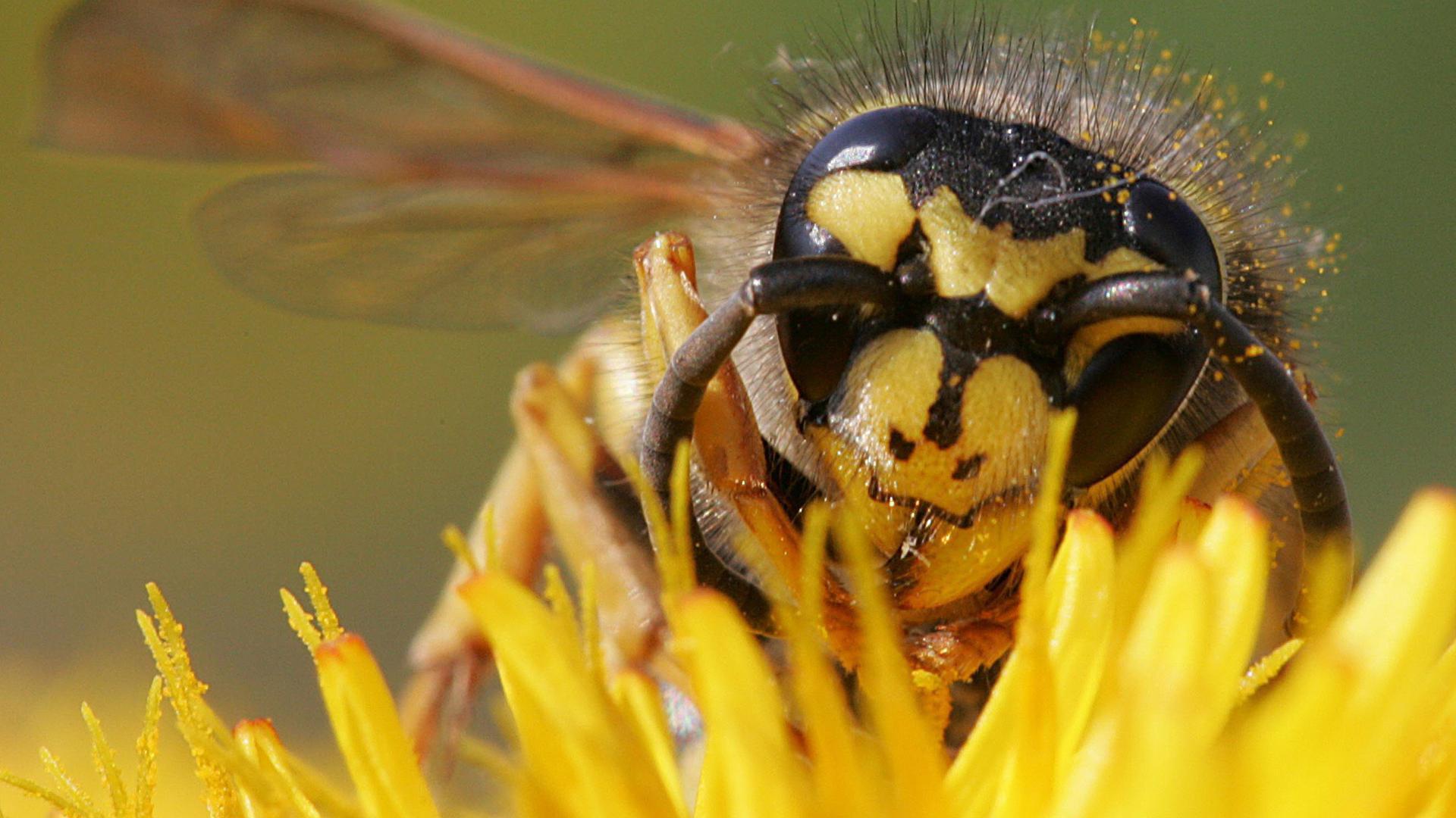 Um das Fest geprellt: Wespen lassen das Oechsle-Fest normalerweise nicht aus. In diesem Jahr bleibt ihnen wegen Corona keine andere Wahl.