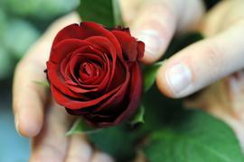 Eine Rose als Dankeschön: Politiker und Unternehmen verschenken immer wieder Rosen zum Weltfrauentag – das kommt mal besser, mal schlechter an.