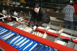 Bruchsal, DEU, 18.05.2005: Spargelverpackung in der OGA.