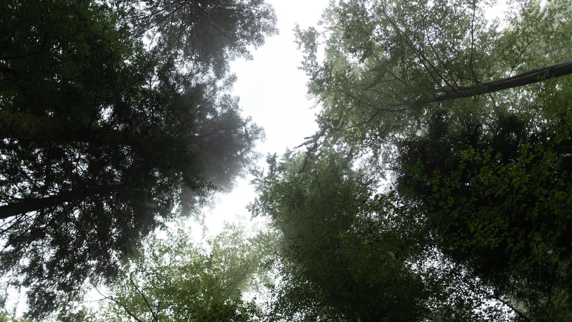 Blick von unten auf die Baumkronen der Bäume im Nationalpark Schwarzwald.