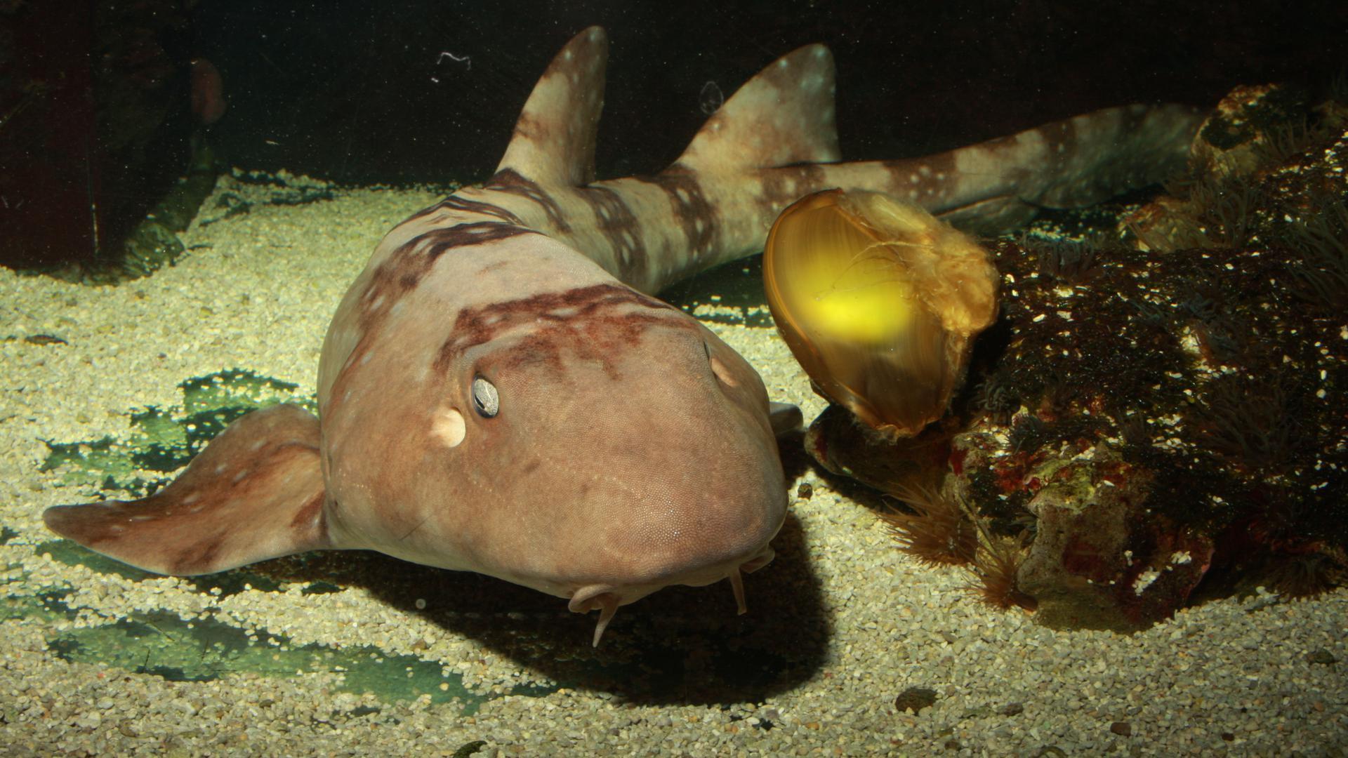 Mariechen ist ein Weißgepunkteter Baumbushhai im Naturkundemuseum Karlsruhe, ein kleiner Hai mit bräunlich-gemusterter Haut.