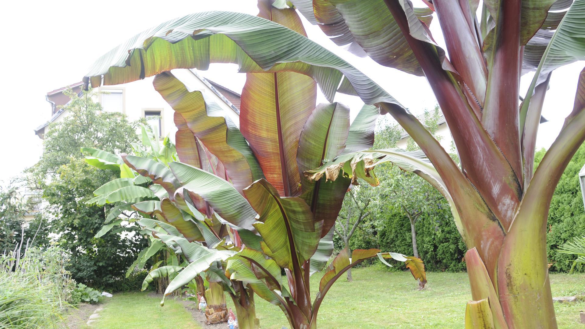 Exotische Pflanzen wie die Bananenstaude werden im Südwesten häufiger.