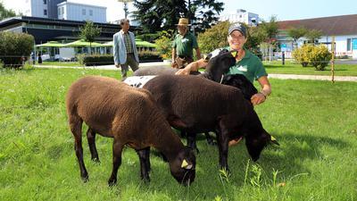 Mäh-Tiere statt Mäh-Roboter: Vier Schafe ersetzen auf dem Siemens-Gelände in Karlsruhe die Technik und beweiden die Grünflächen. Es ist ein Projekt von Mitarbeiter Hermann Geyer (l.) und Gerhard und Loretta Gruber vom Dettenheimer Storchenhof.