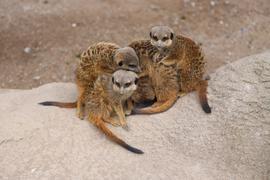 Zusammenhalt ist gefragt: Vor allem als Gemeinschaft kennt man die Erdmännchen, wie hier im Karlsruher Zoo. Doch innerhalb der Gruppe gibt es auch Führungskämpfe.