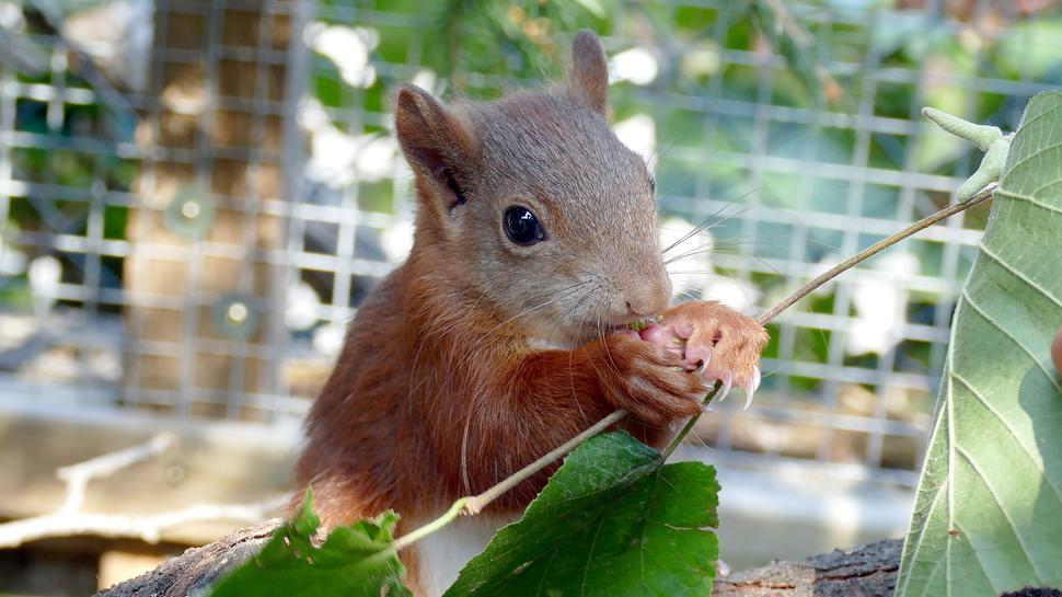 Ein Eichhörnchen sitzt in einem Gehege.