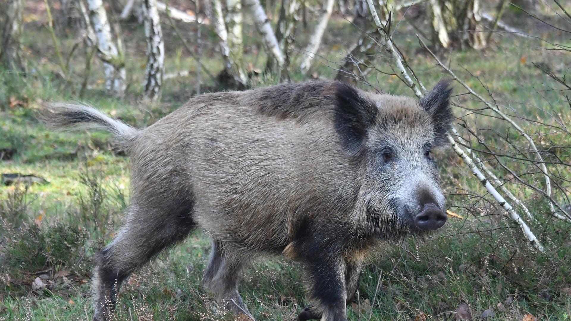 Ein Wildschwein steht in einem Wald.
