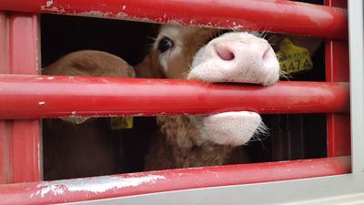 Tierschützer von Animals Angels haben Transporte der Kälber – auch von Baden-Württemberg aus – verfolgt und herausgefunden, dass die Pausen und Fütterung der Tiere nicht vorgeschrieben eingehalten wird.