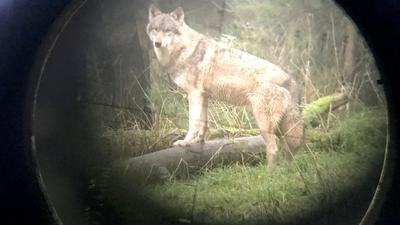 Zwei Wölfe leben wieder im Schwarzwald.