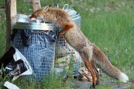 Ein Fuchs sucht Nahrung in einer Abfalltonne.