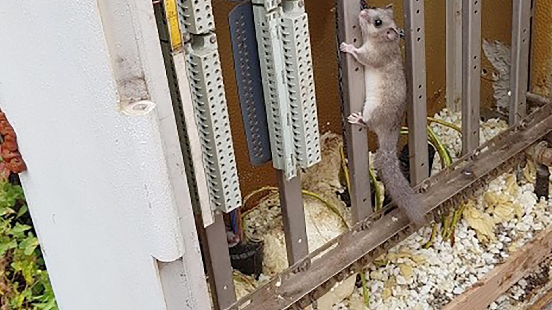 Ein Siebenschläfer klettert in einem Signalschaltkasten der Bahn.