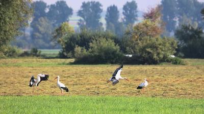 Störche sammeln sich im Langenauer Ried.