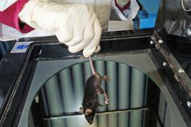 In einem Labor einer Universität wird eine Labormaus für einen Versuch vorbereitet.