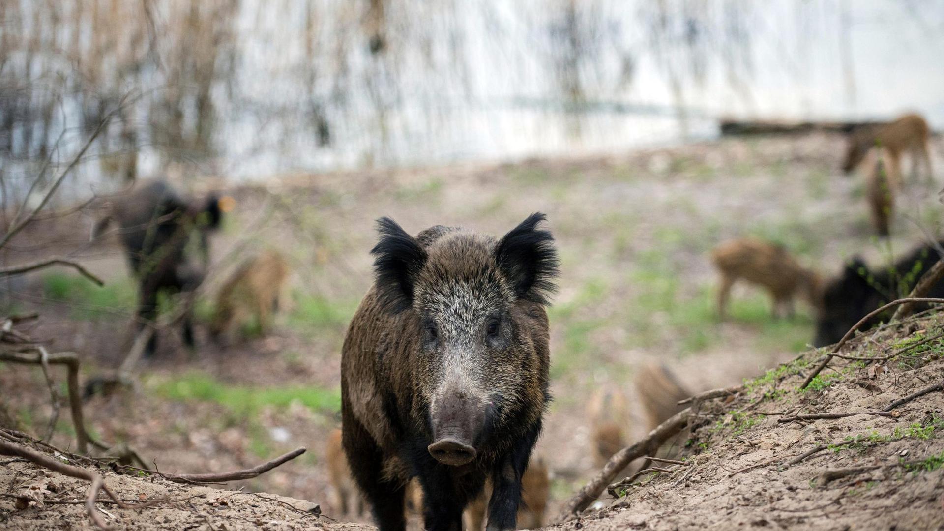 Wildschweine laufen durch ein Waldgebiet.