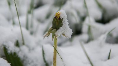 Ein mit Schnee bedeckter Löwenzahn steht auf einer schneebedeckten Weide bei Degenfeld (Baden-Württemberg).