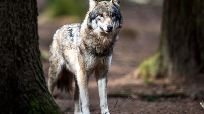 Wölfe Baden Württemberg